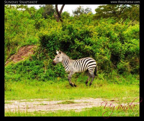 Uganda-zebras