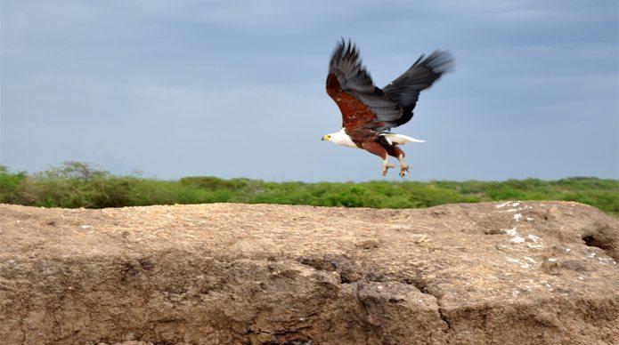 uganda-safari-eagle